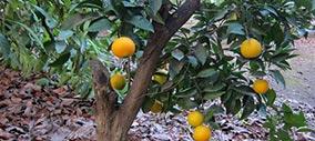 Árboles frutales: naranjo